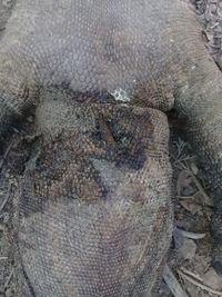 Tanduk yang menembus leher komodonya (dok Istimewa)
