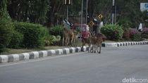 Penampakan Belasan Rusa Berkeliaran di Jalanan Kota Palu