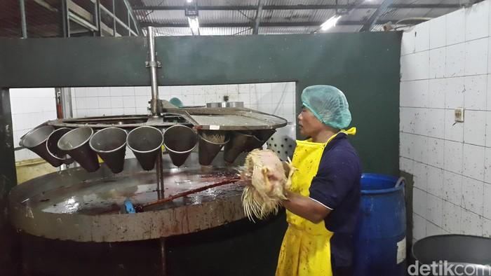 Setelah itu, dilakukan penyembelihan secara manual dengan pengucapan basmalah oleh pemotong untuk menjamin kehalalan daging ayam. (Foto: detikHealth/Khadijah Nur Azizah)
