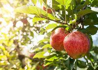 Studi Terbaru Ungkap Potongan Apel Bisa Mengandung 100 Juta Bakteri