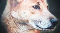 LIPI Belum Bisa Pastikan Anjing Mirip Serigala di Papua Jenis Baru
