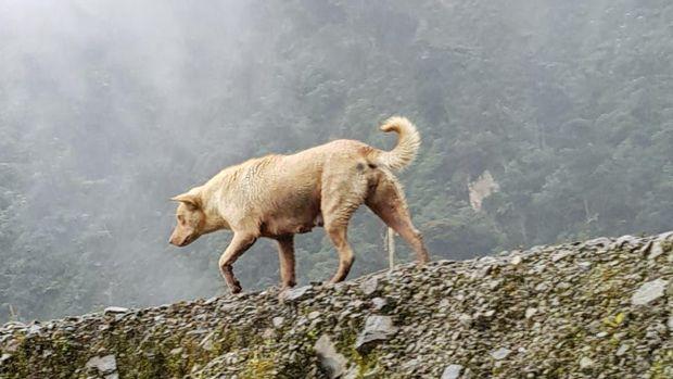 Anjing Dingo di Papua