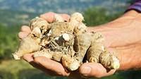 Di Pruneti, akar iris dibiarkan di bawah tanah selama 4 tahun. Sementara itu, saat bunga dalam siklus pertumbuhan para petani menyiangi, memotong dan mamanennya. Panen dilakukan pada bulan-bulan di musim panas, dari bulan Juni-September ketika umbi digali (imageBROKER/Alamy/BBC Travel)