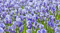 Nuansa wangi raspberry, violet dan lada membuat aroma orris langka. Esens itu disuling dari akar iris yang terkenal dalam lukisan dari Vincent van Gogh (imageBROKER/Alamy/BBC Travel)