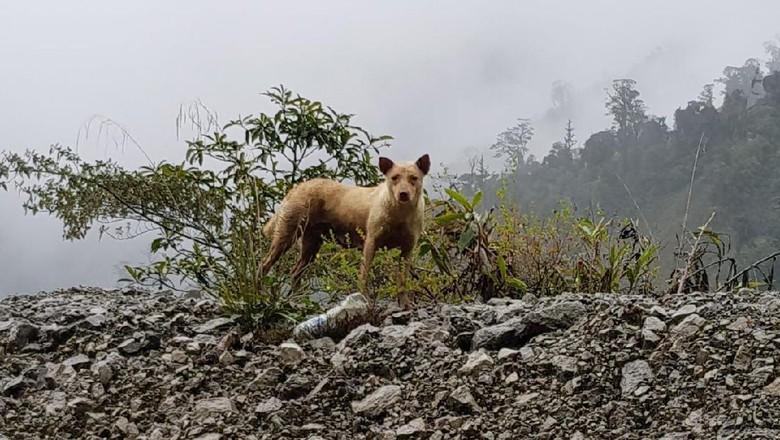 Inikah dingo di Papua? (dok Istimewa/Maximus)