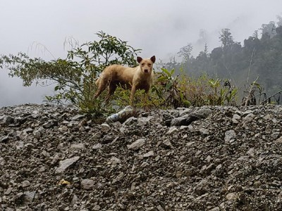 Misteri Singing Dog dari Papua, Kerabat Dingo dari Australia