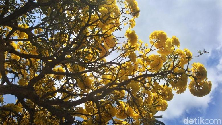 Foto: Bunga tabebuya mekar di Purwokerto (Arbi/detikTravel)
