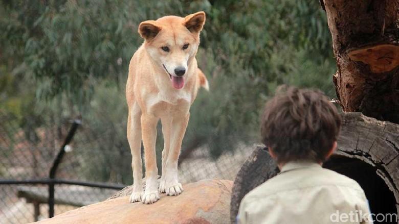 Dingo di Ballarat Wildlife Park (Randy/detikTravel)