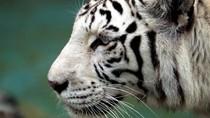 Harimau Putih Tak Jadi Dibunuh Usai Terkam Pawang Hingga Tewas