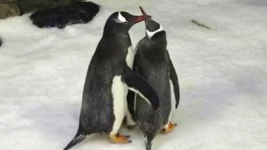 Pasangan Penguin Sesama Jenis di Akuarium Sydney Diberi Telur Adopsi