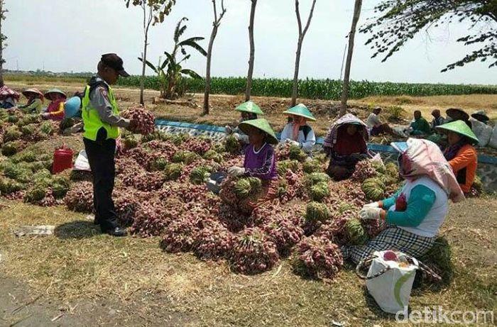 Pembelian bawang merah ini dilakukan langsung ke petani dengan harga Rp 15.000 per kg.