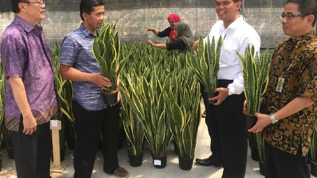 Kementan Dorong Peningkatan Ekspor Tanaman Lidah Mertua