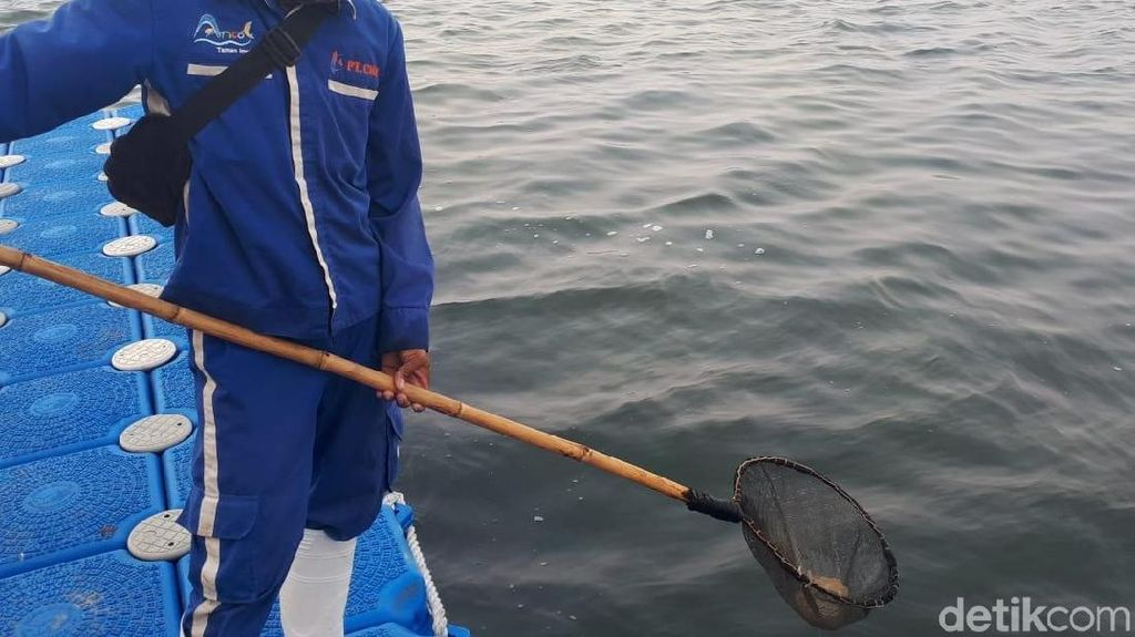 Heboh Ubur-ubur di Pantai Ancol
