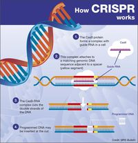 Cara kerja dari teknik Crispr dalam menyunting gen.
