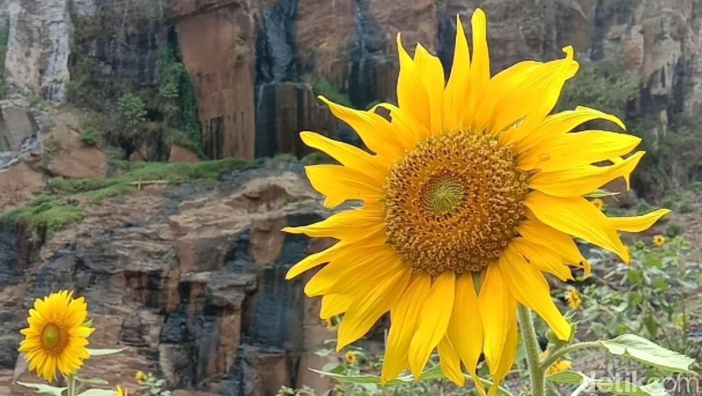 Mau Lihat Bunga Matahari Cantik di Bandung? Ini Tempatnya