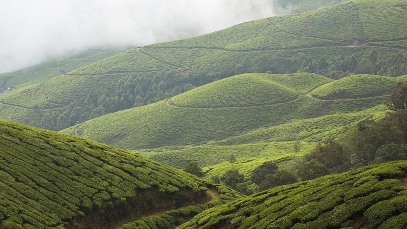 Bunga di negara India ini memang sangat spesial dan langka di dunia. Bunga Neelakurinji mekar setiap 12 tahun sekali di Kerala, India barat daya, 45 km dari Munnar atau 590 km dari Chennai(Mayank Soni/BBC Travel)