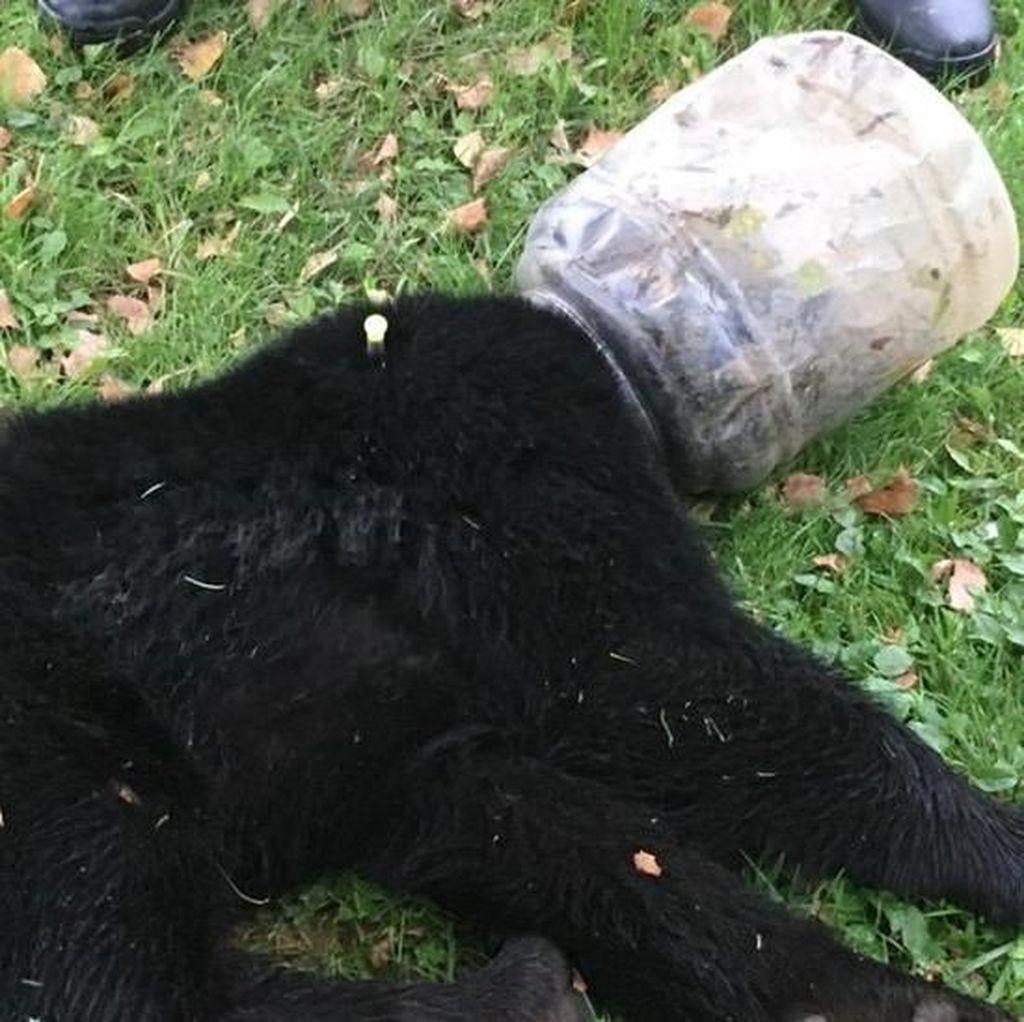 Kisah Anak Beruang yang Kepalanya Terjebak di Toples Plastik 3 Hari