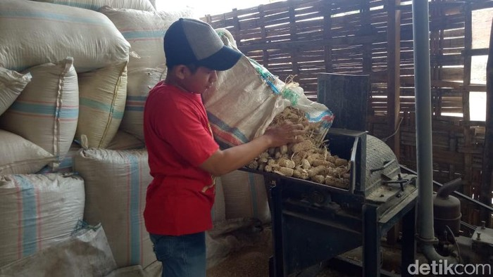 pakan ternak alternatif dari bonggol jagung