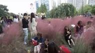 Emosi Kalau Baca! Rumput-rumput Pink di China Rusak Oleh Wisatawan