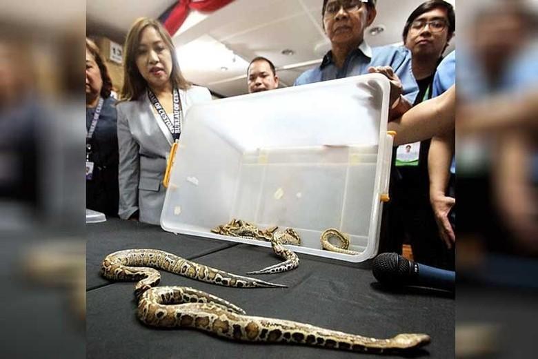 Bea Cukai Filipina Sita 12 Ular Piton Dalam Paket dari Indonesia