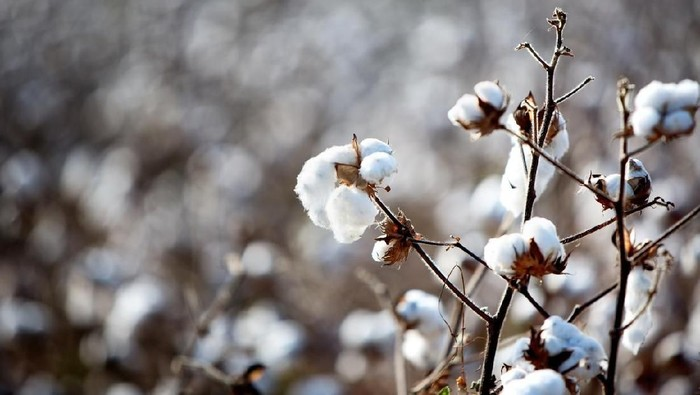 Ripe cotton ready to pick in a field in Americas deep south