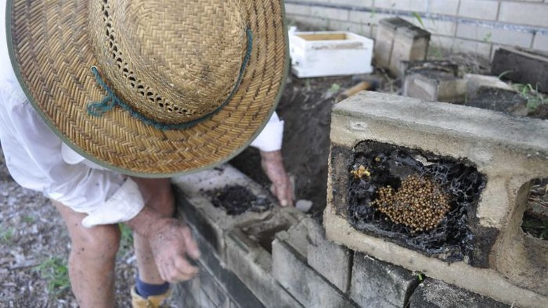 Petani Rambutan Australia Dongkrak Produksi Buah Pakai Lebah Tanpa Sengat
