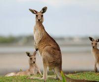 Koki Sekolah Dipecat Karena Sajikan Daging Kanguru Tanpa Pemberitahuan