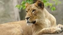 Singa Betina Bunuh Brutal Singa Jantan Pasangannya