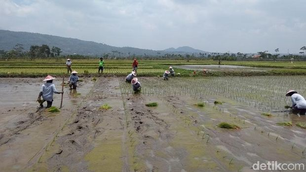 Serunya Melihat 40 Grup Emak-emak Jateng Lomba Tanam Padi