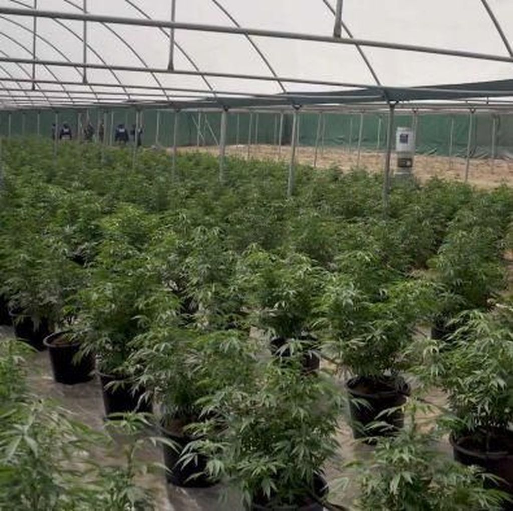 Polisi Temukan Kebun Ganja Besar Bernilai Rp 100 M di Australia Barat