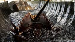 Belangkas atau kepiting tapal kuda adalah hewan laut yang punya darah berwarna biru. Di dunia medis darah belangkas sangat bernilai karena sifat spesialnya.
