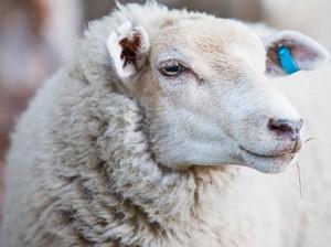 Dari Rambut hingga Keringat Domba, Benda Aneh yang Masuk Dalam Makanan