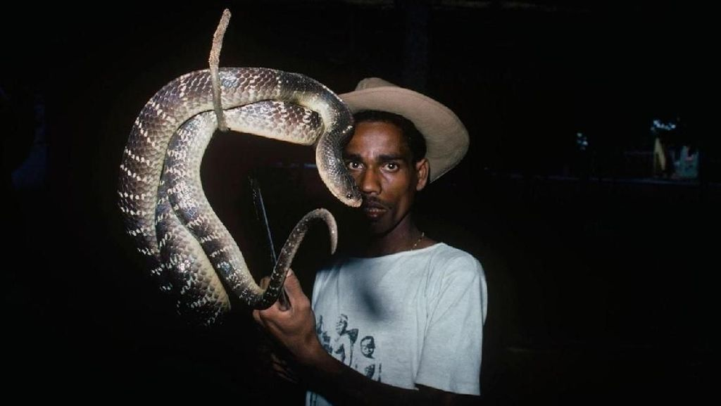 Mengenal Suku Pemburu Ular Kobra