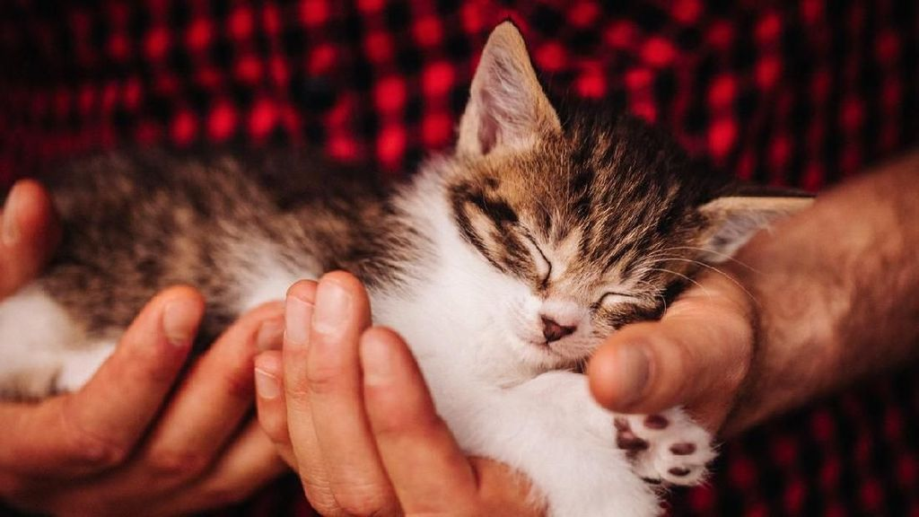 Kucing Bisa Mati Tertular COVID-19 dari Pemiliknya