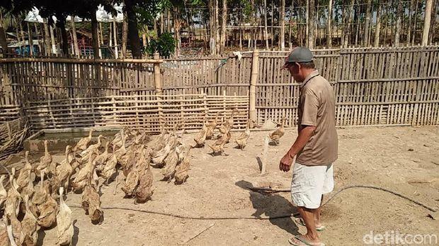 Sering dipakai untuk memaki, sontoloyo arti sebenarnya adalah penggembala bebek.