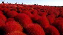 Bukan Sakura, Ini Bunga Semerah Darah Milik Jepang