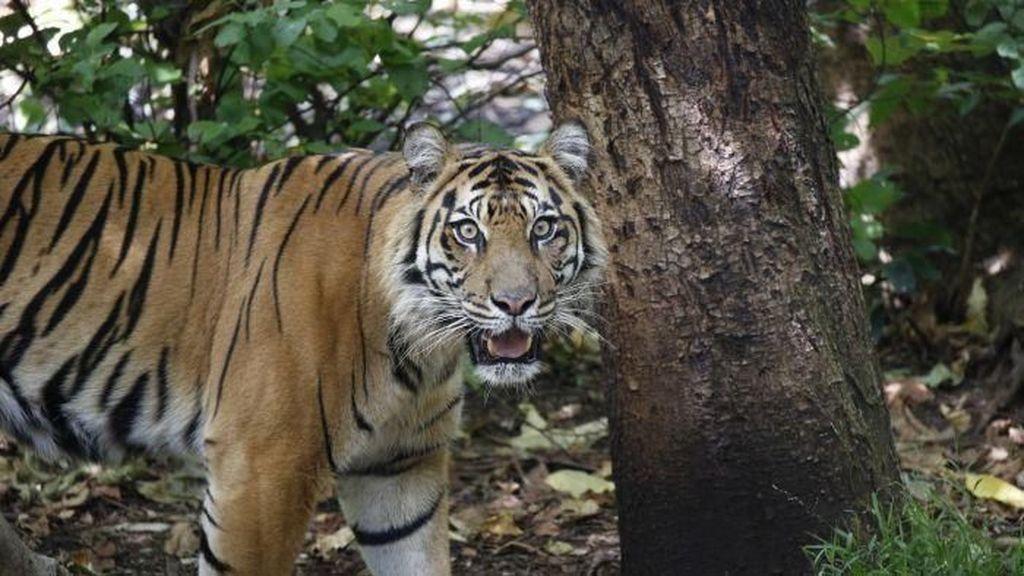 Harimau di Kebun Binatang Melbourne Suka Parfum Mewah