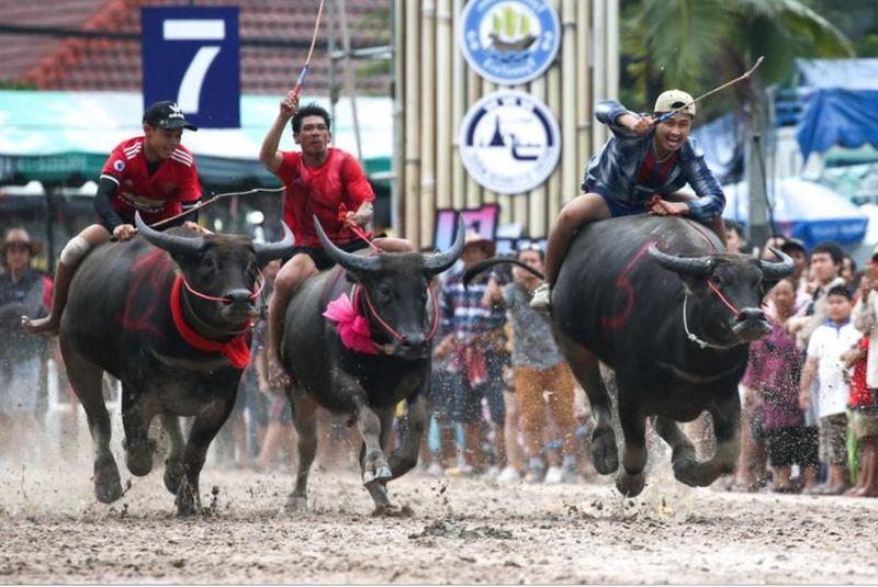 Balapan kerbau ini bisa kamu jumpai di Chonburi, kota yangn berjarak sekitar 80 Km dari Bangkok. (Athit Perawongmetha/Reuters)