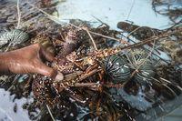 Ini 5 Jenis Lobster Unggulan yang Super Enak