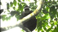 Ini Faktor yang Sebabkan Populasi Primata Endemik Mentawai Menurun