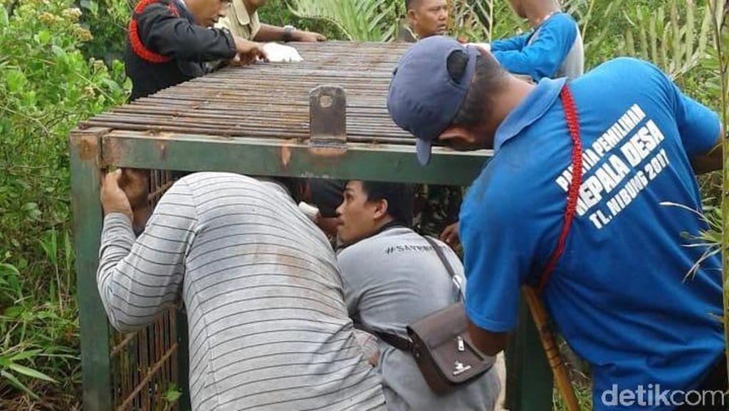 Tim Pasang Perangkap di Lokasi Harimau Serang 4 Sapi di Riau