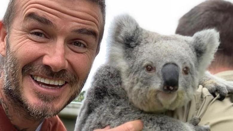 David Beckham dan koala (@Australia/Instagram)