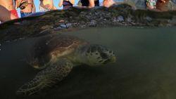 Aksi Heroik YouTuber Bantu Penyu Kembali ke Laut