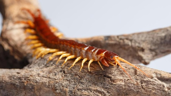 Centipede climb on the branches