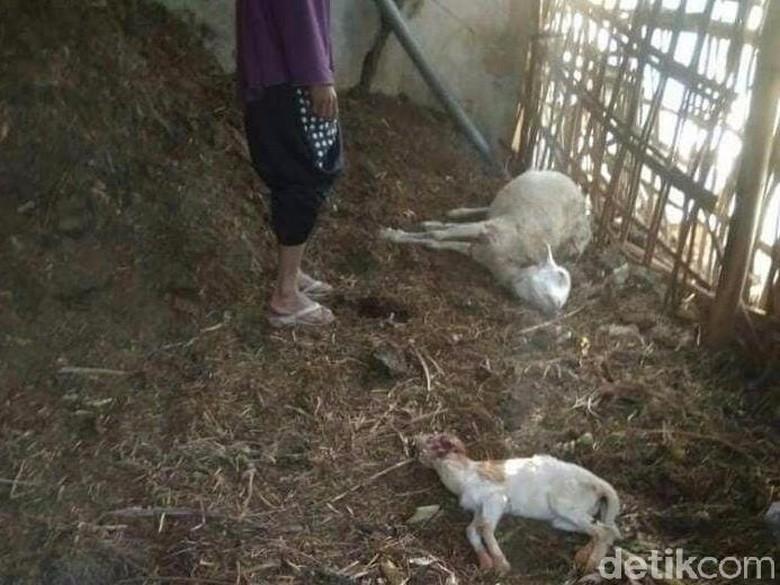 Ternak Diserang Predator, Warga: Masih Banyak Macan di Lawu