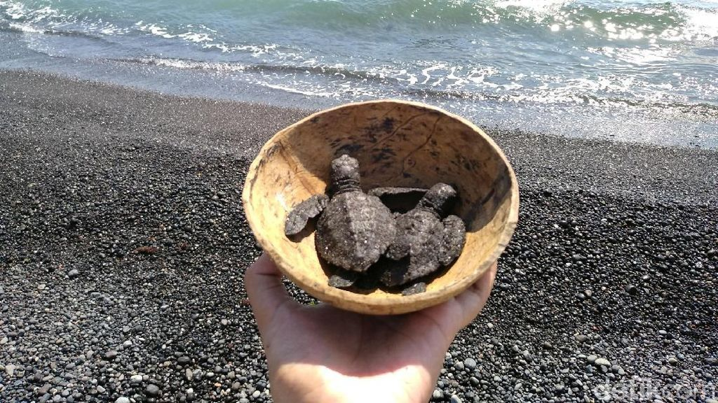 Kisah Penyelamatan Penyu dari Pantai Saba di Bali
