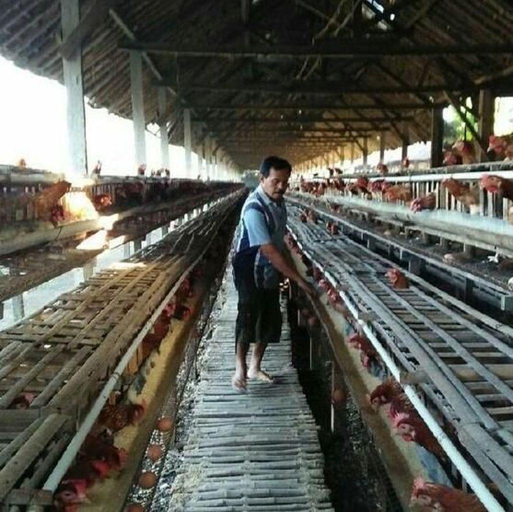 Dear Peternak Ayam di Blitar, Berserikatlah Biar Bisa Survive