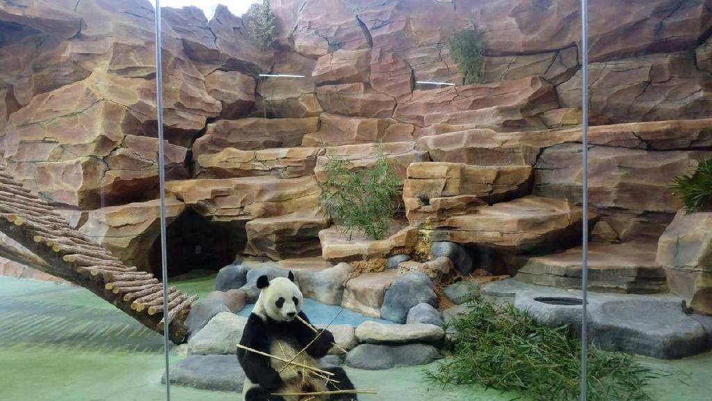 Yuk, Lihat Tingkah Lucu Cai Tao dan Hu Chun di Istana Panda
