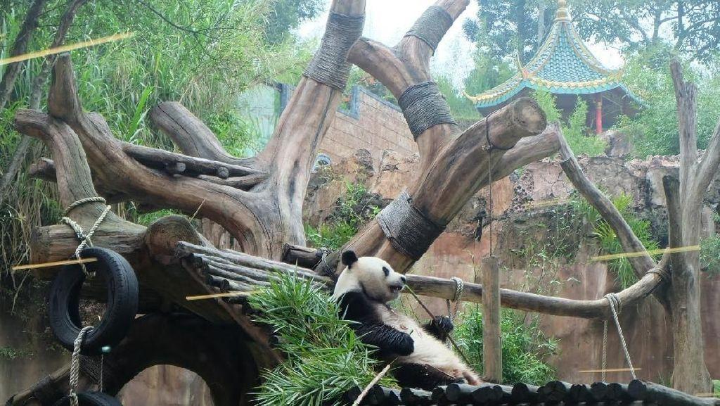 Puncak Bogor Punya Restoran yang Hadirkan Panda