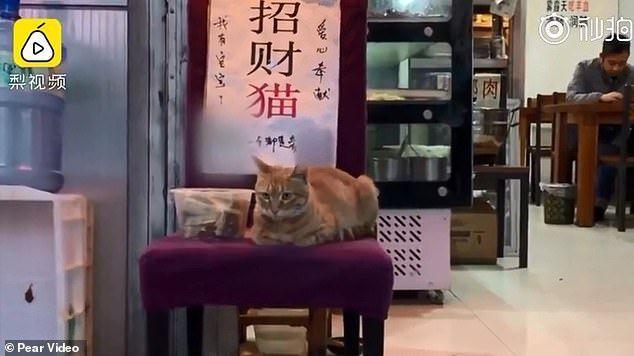 Gemas! Kucing Ini Duduk di Depan Restoran yang Sama Setiap Harinya